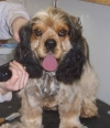 Cocker Spaniel, 3 years old, sable roan